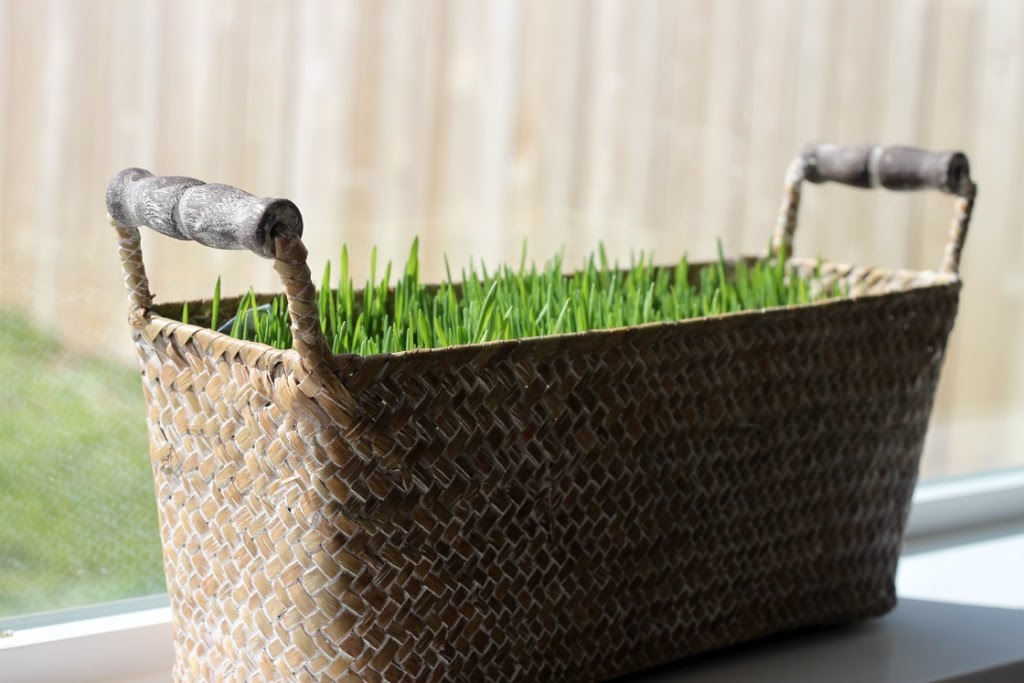 Spring Wheat Grass Basket - Make Your Own Fresh Grass for Easter